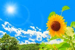 夏の日のひまわり